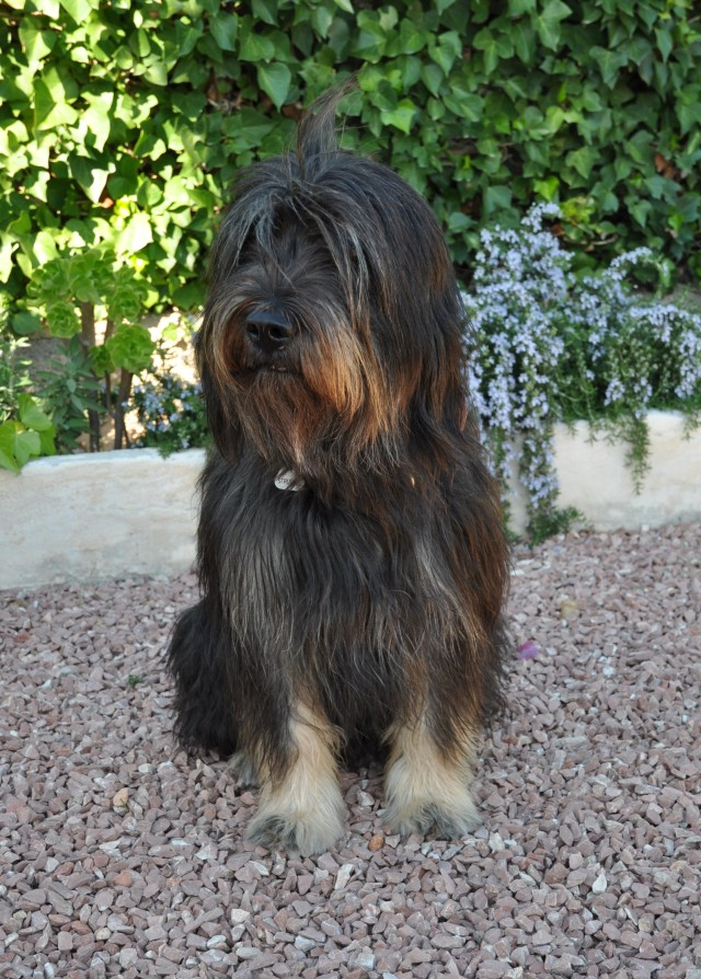 strubbel - catalan sheep dog