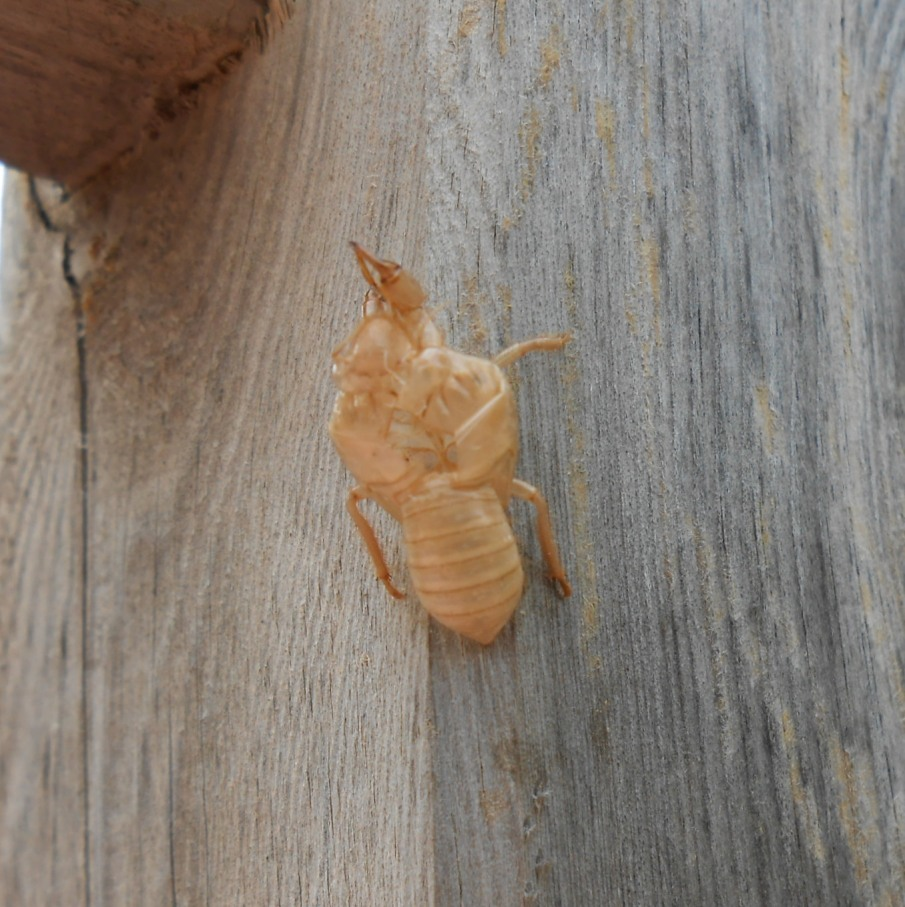 photo cicadas