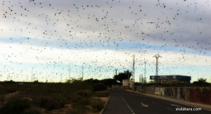 starlings on the move - skalabara.com