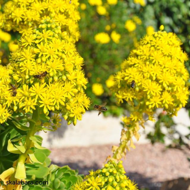 aeonium arboreum - skalabara.com