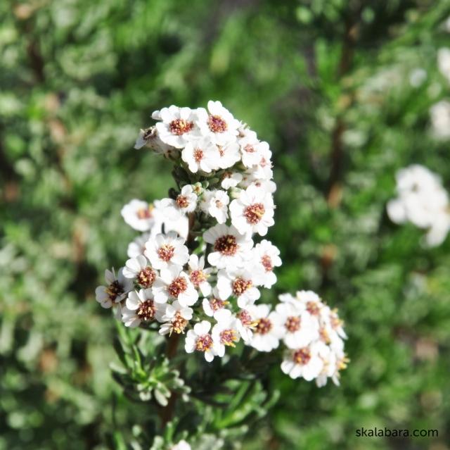 eriocephalus africanus - skalabara.com