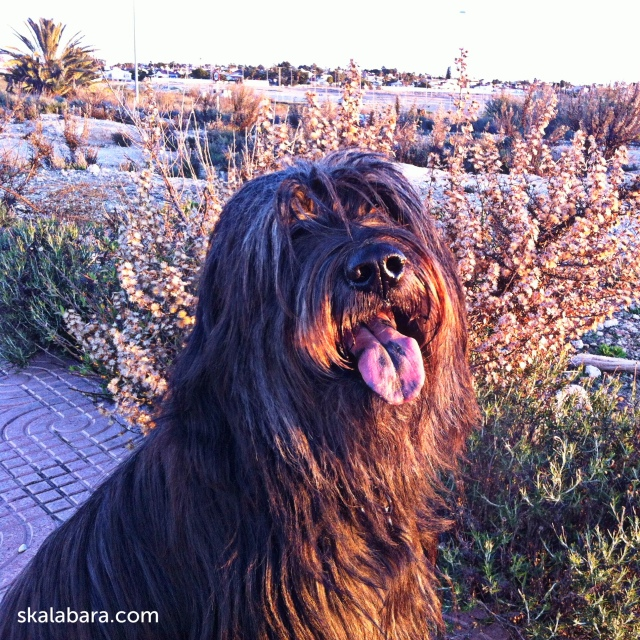 strubbel - catalan sheepdog - skalabara.com