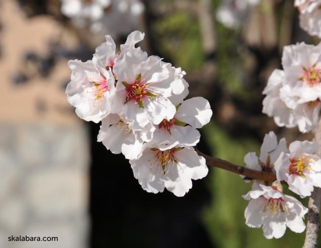 almond blossom 2 - skalabara.com