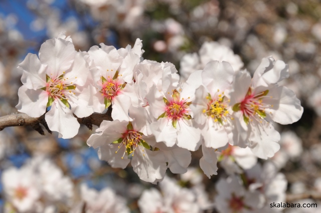 almond blossom - skalabara.com