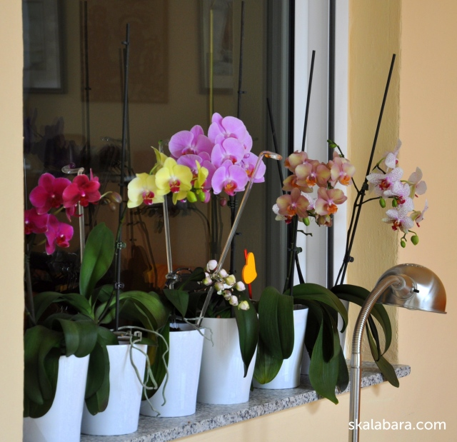 orchids - skalabara.com