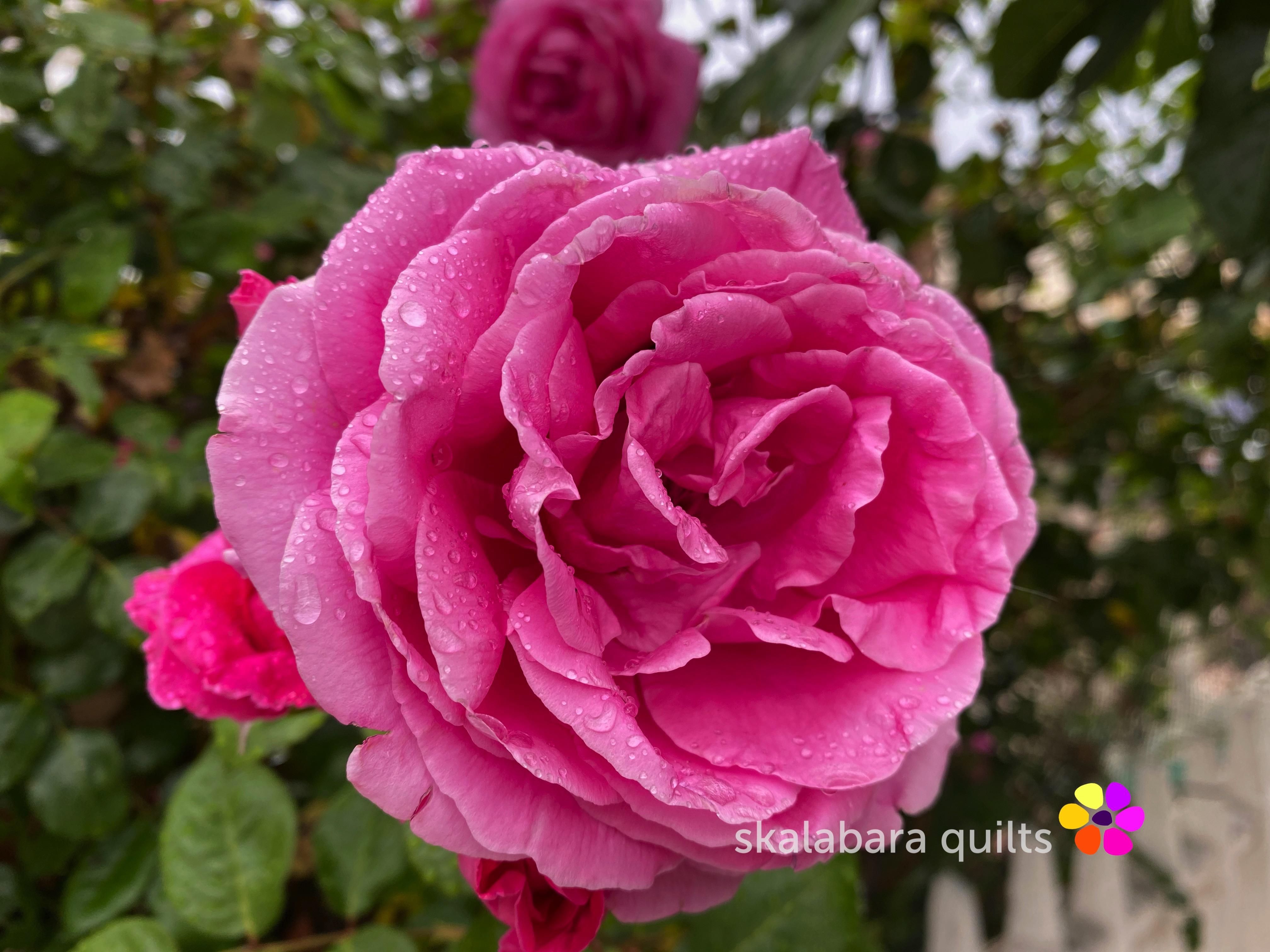 old englisch rose flower close-up