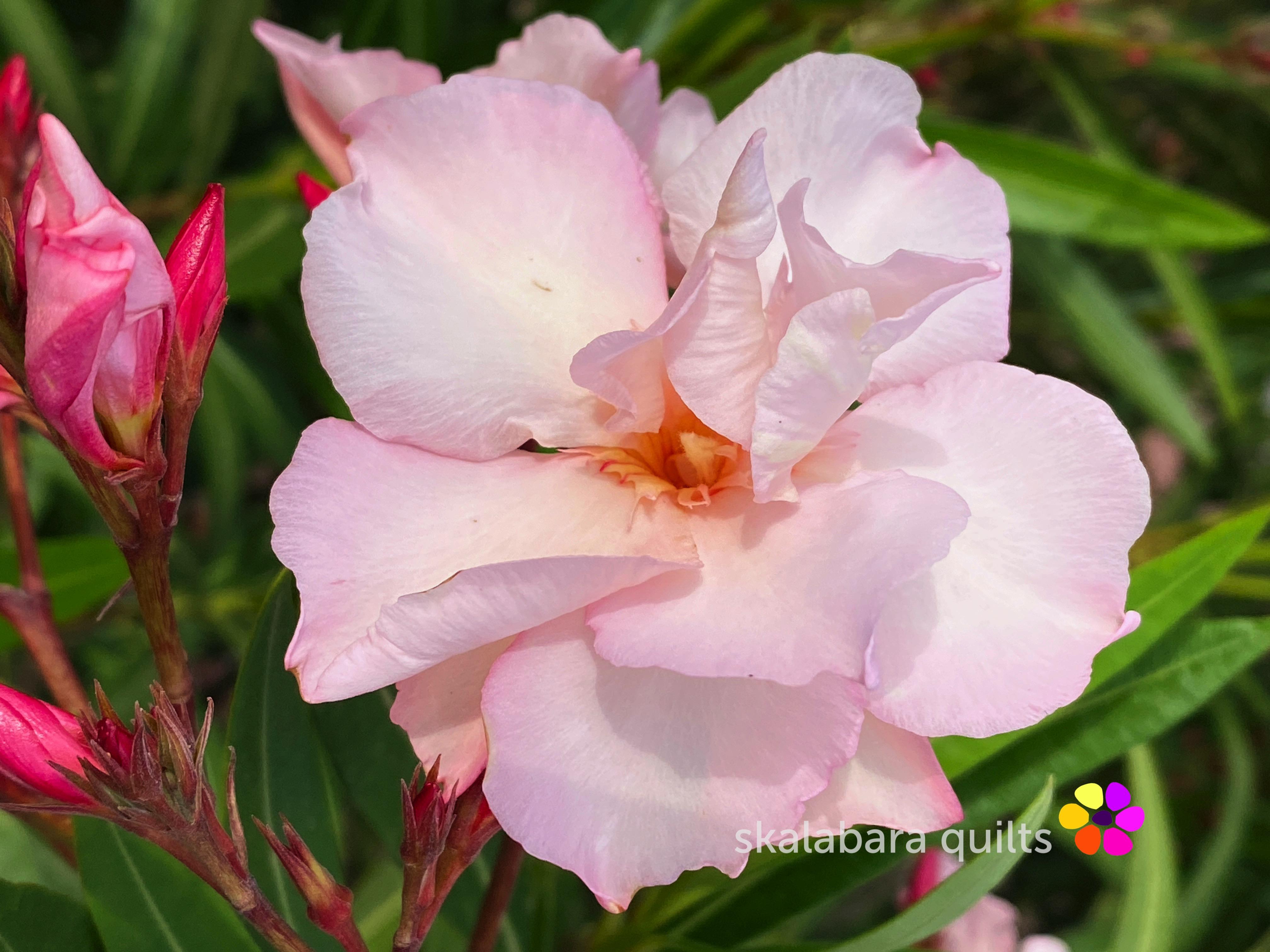 oleander flower close-up