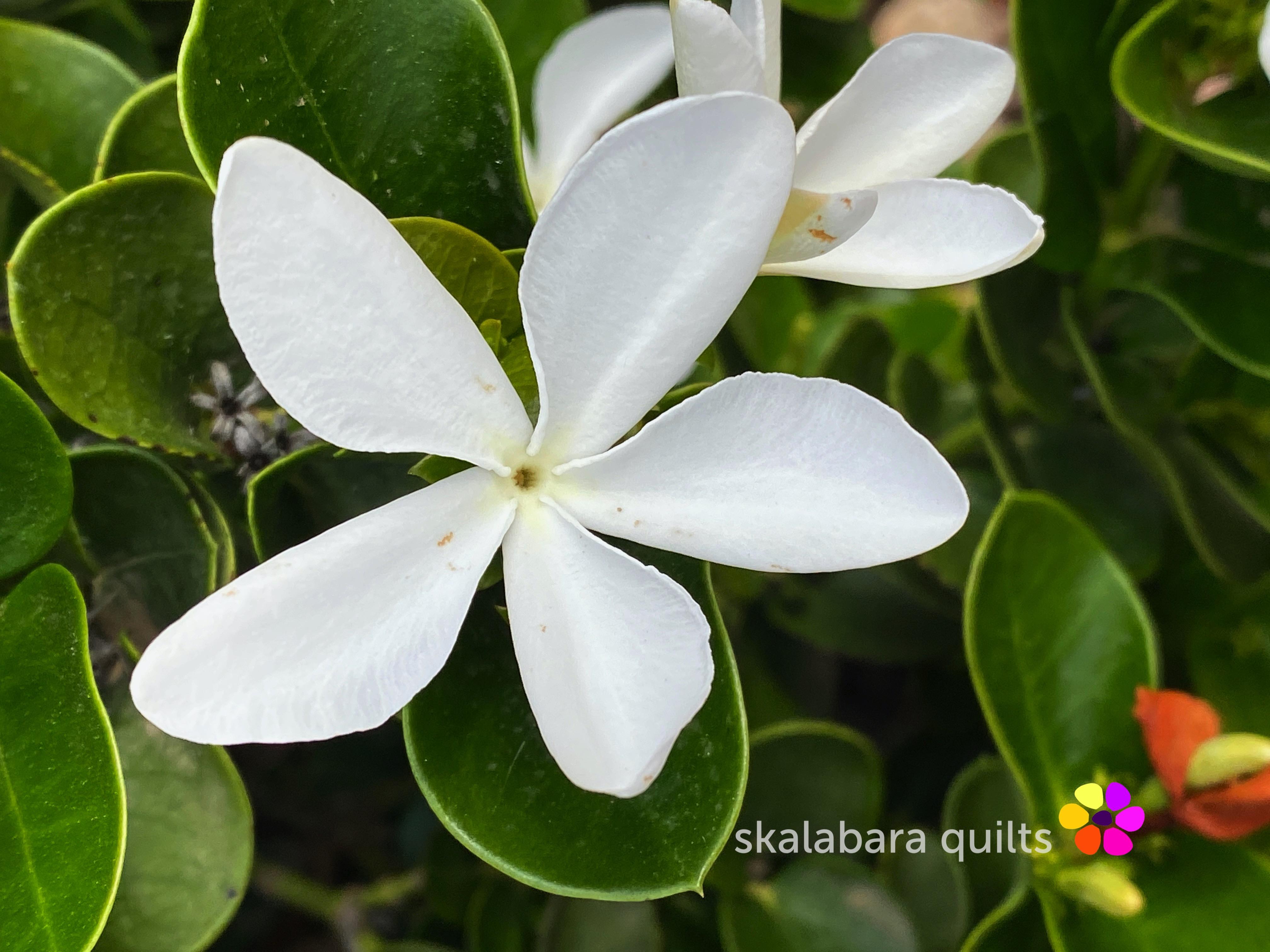 carissa flower close-up