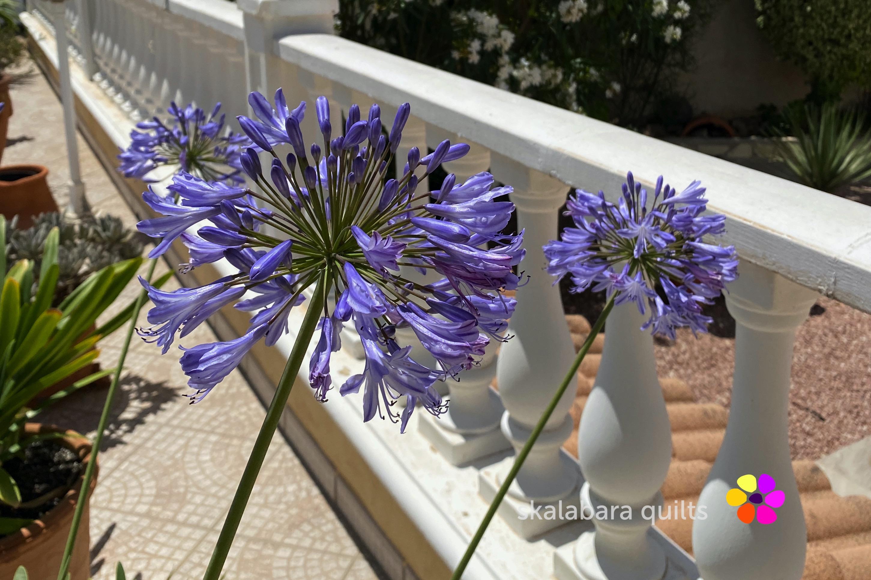 agaphanthus flower close-up